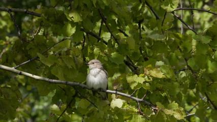 Gray flycatcher sits on a branch