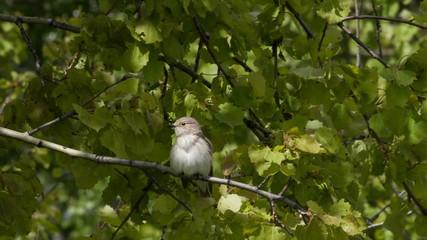 Gray flycatcher sits on a branch