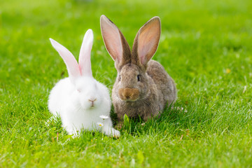 Two rabbits in green grass