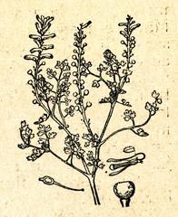 Common fumitory (Fumaria officinalis)