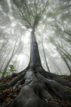 huge old tree with twisted roots in a misty forest
