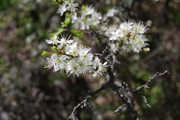 Hawthorn in the spring