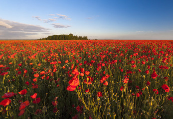 Huge field of poppies