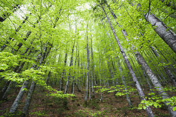 Fresh green spring beech forest