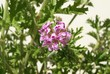Mediterranean  pelagonia
