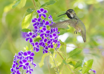 Costa's Hummingbird in flight at a purple flower