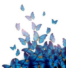 Volo di farfalle blu
