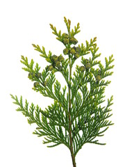 thuja branch with tiny cones on white background