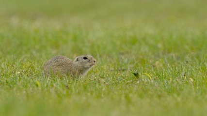 Ziesel, European ground squirrel, Spermophilus citellus