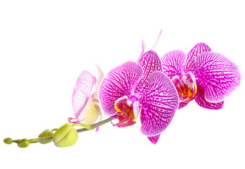 Blooming stripped purple with white orchid, phalaenopsis is isol