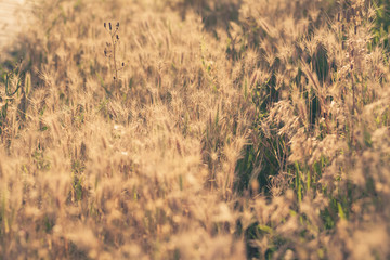 Yellow dry grass at sunset
