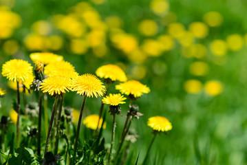 Gialla Primavera