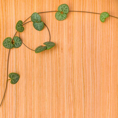 twisted tendril Ceropegia Woodii on wooden background