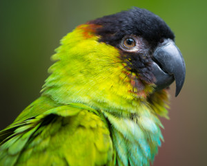 Portrait of conure parrot with black head