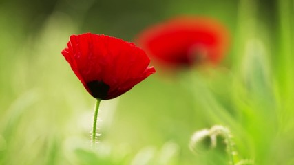 Red Poppy Flourishing