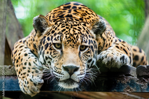 Canvas Luipaard South American jaguar