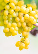 Bunches of Green wine grapes hanging  on vine