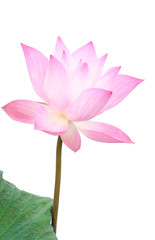 Blooming Lotus isolated