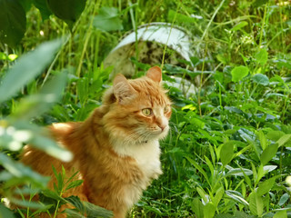 Red cat hiding in grass