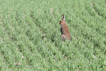 the hare in the field nr2