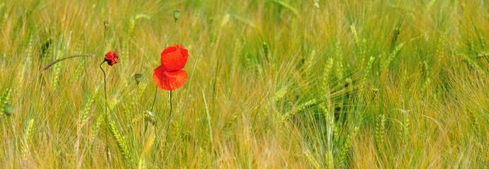 Coquelicot en fleur dans un champ de blé
