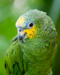Portrait of green and yellow conure