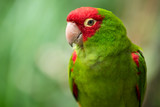 Portrait of red and green conure parrot