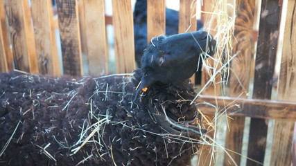 Black sheep in a pen eating hay