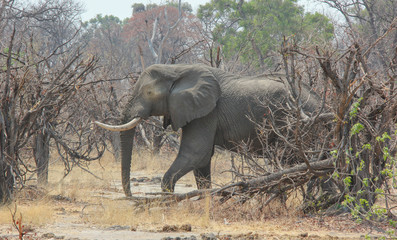 Elephant walking, Botswana