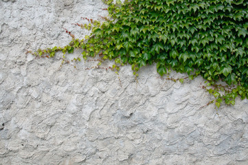 old plaster with ivy