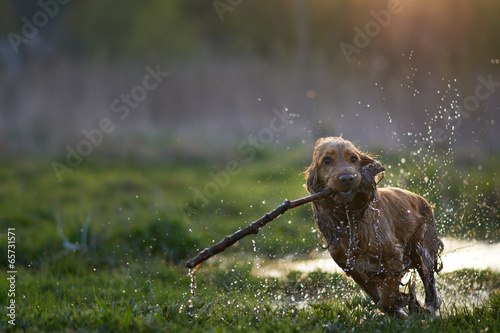 Papiers peints Porter redhead Spaniel dog running with a stick