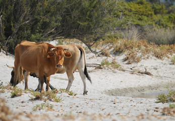 Kuh am Strand von Korsika
