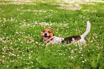 A jack russell smiling on green grass with daisies