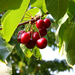 Kirschen - Cherries