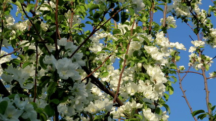 Two bee on an apple tree blossom.