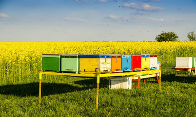 Beekeeping with oilseed rape in the background and blue sky