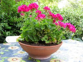 Gerani rosa nel vaso