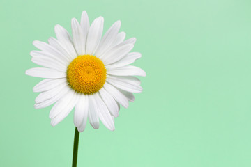 Daisy flower closeup on green background