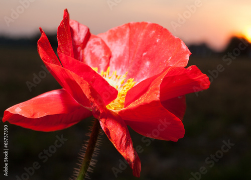 Sunset poppy