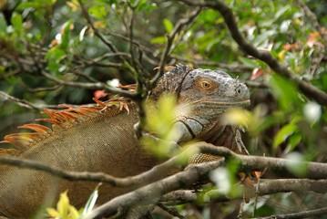 Iguane, Costa Rica