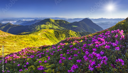 Naklejka Magic pink rhododendron flowers in the mountains.