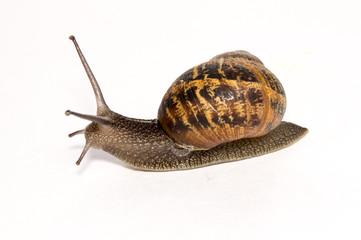 Cornu aspersum Garden Snail