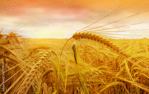 wheat field at the sunset - 65739569