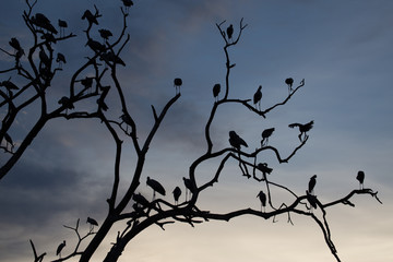 Silhouette of asian open billed stork birds on treetop