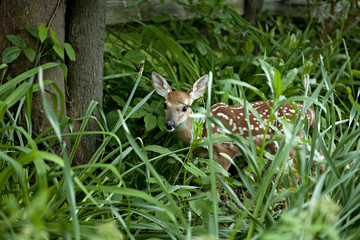 Fawn in thick Foliage