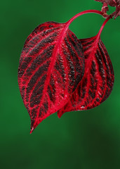 Fresh red leaves on green background