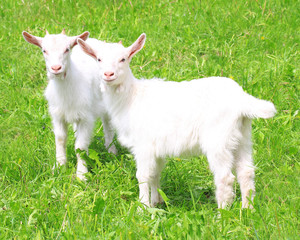 Two white baby goat