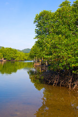 Mangrove forest in gulf of thailand