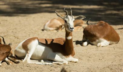mohor gazelles  on sand