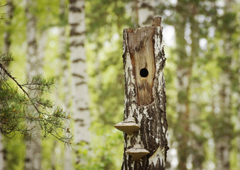 Woodpecker hollow into the dry birch